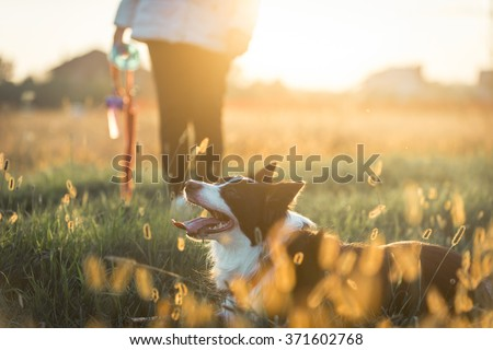 Beautiful border collie lying in the grass after long play - stock photo
