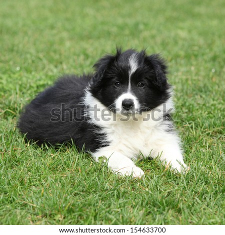 Beautiful border collie puppy lying in the garden
