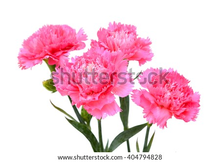 Beautiful bouquet of pink carnation flowers isolated on white background