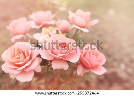 beautiful bouquet of small pink roses, tinted photo - stock photo