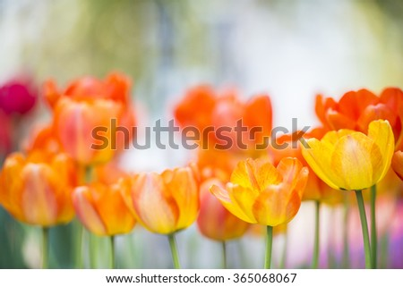 Beautiful bouquet of tulip. colorful tulip. tulip in spring,colorful tulip