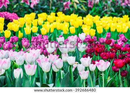 Beautiful bouquet of tulips. colorful tulips. tulips in spring,colourful tulip - stock photo