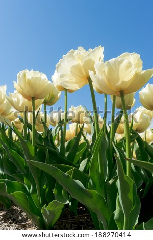Beautiful bouquet of tulips. colorful tulips. tulips in spring sun. tulip in the field - stock photo