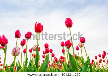 Beautiful bouquet of tulips in spring season