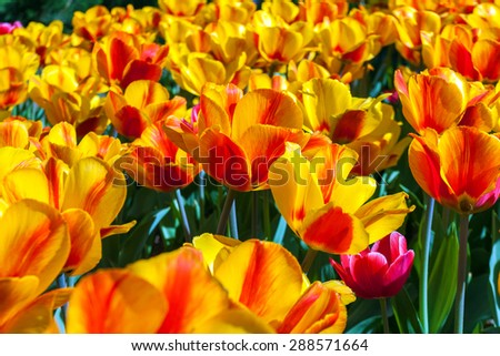 Beautiful bouquet of tulips on spring close up in flower garden, Kukenhof, Holland
