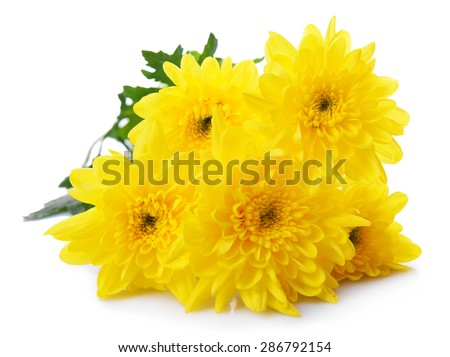 Beautiful bouquet of yellow chrysanthemum close up - stock photo