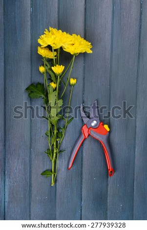 Beautiful bouquet of yellow chrysanthemum with pruner on wooden background - stock photo