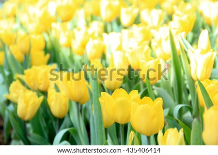 Beautiful bouquet of yellow Tulips in Spring Flora