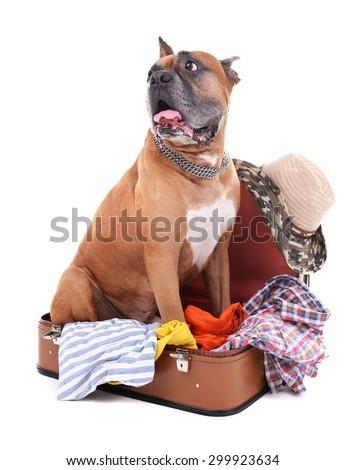 Beautiful Boxer Dog in suitcase isolated on white - stock photo