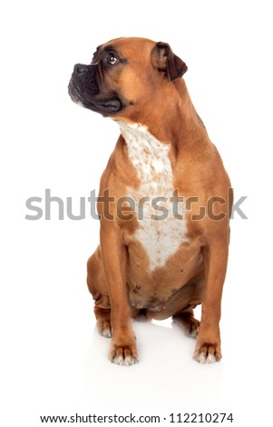 Beautiful Boxer dog isolated on white background - stock photo