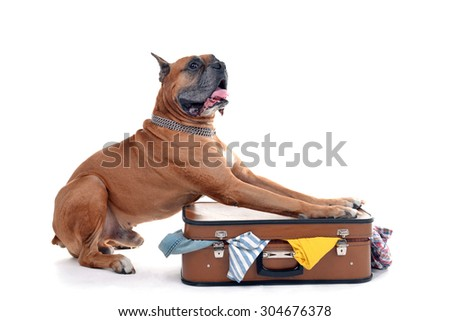 Beautiful Boxer Dog on suitcase isolated on white - stock photo