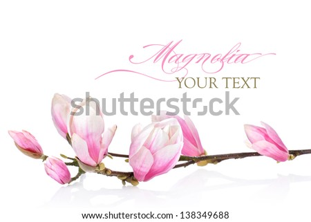 Beautiful branch of magnolia flowers on a white background - stock photo
