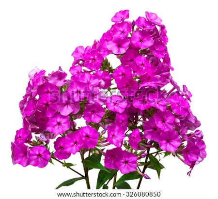 Beautiful branch of phlox flowers with leaves isolated on white background - stock photo