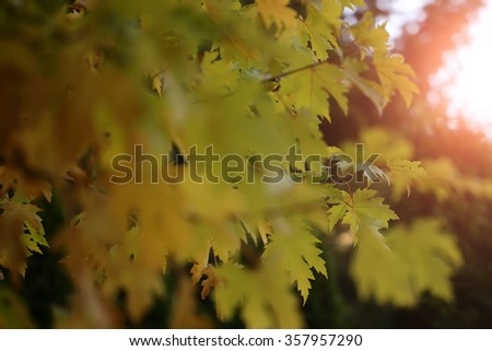 Beautiful branches of maple tree with bright blur colorful yellow golden leaves against sun beam autumn season october splendid landscape wallpaper on natural background closeup, horizontal picture - stock photo