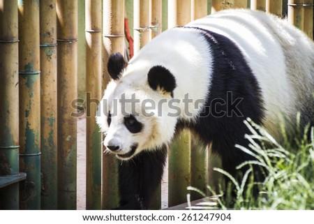 Beautiful breeding panda bear playing in a tree - stock photo