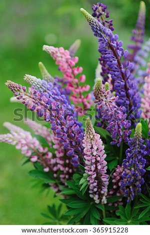 Beautiful bright bouquet of colorful wild lupines on natural background - stock photo