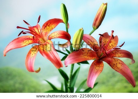 beautiful bright flower lily on opened natural background - stock photo