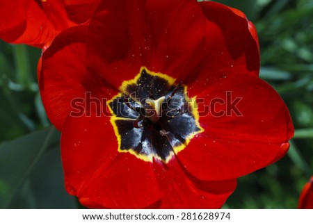 Beautiful bright flowers of tulips close up - stock photo