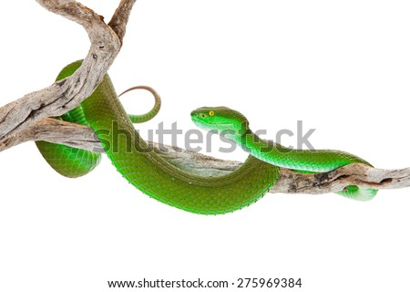 Beautiful bright green color White-lipped Pit Viper, also known as Cryptelytrops albolabris, a venomous tree snake found mainly in southeast Asia - stock photo