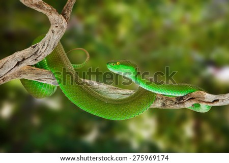 Beautiful bright green color White-lipped Pit Viper snake wrapped around a tree branch with blurred out leaves in the background. - stock photo