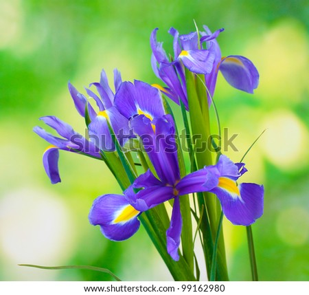 Beautiful bright irises on green background