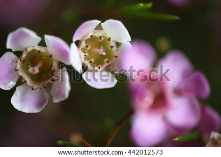 Beautiful bright pink and white wax flowers, Chamelaucium