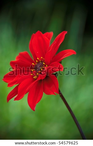Beautiful bright red Dahlia blooming with a nice green DOF background - stock photo