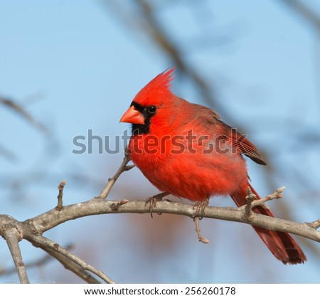 Beautiful bright red male Northern Cardinal perched in an Oak tree in winter - stock photo