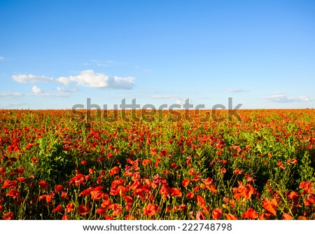 beautiful bright red poppy flowers - stock photo
