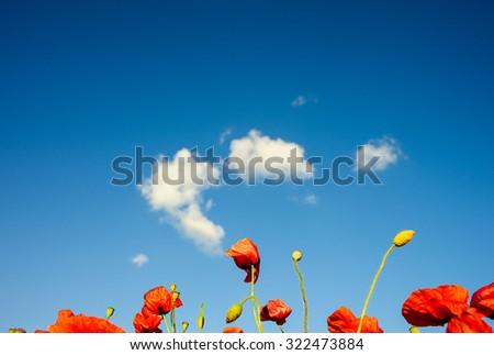 beautiful bright red poppy flowers - stock photo