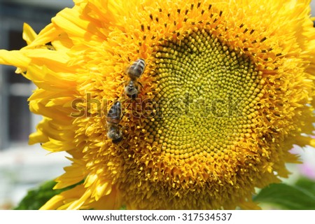 beautiful bright sunflower with bee