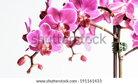 Beautiful bright vivid pink orchid flower cluster close up image isolated on white background