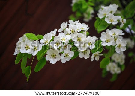 Beautiful bright white flowers and green leaves on a tree branch on bokeh bright brown background. Shallow depth of field. - stock photo