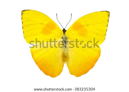 Beautiful bright yellow butterfly with huge wings isolated on white. Phoebis philea. - stock photo