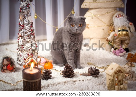 beautiful British cat at a New Year tree