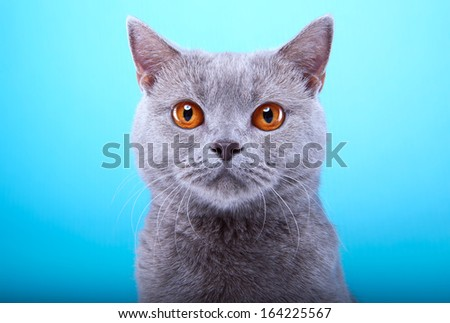 Beautiful british cat is isolated on a blue background.