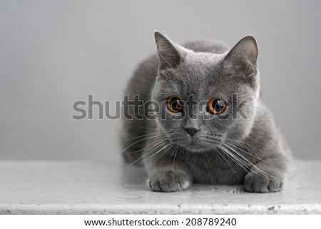 beautiful British gray cat on a stool - stock photo