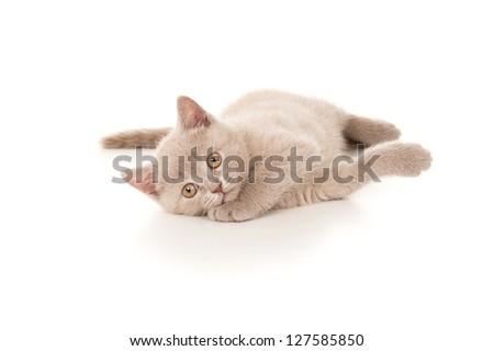 beautiful British kitten lying on the floor - stock photo