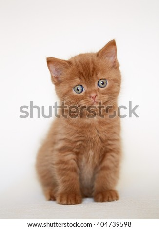beautiful british short hair kitten sitting on sofa, selective focus - stock photo