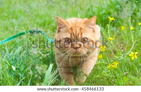 Beautiful British Shorthair cat in the green grass