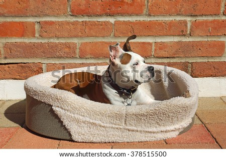 Beautiful brown and white bulldog cross dog relaxes in his bed in the sunshine