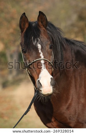 Beautiful brown arabian horse with show halter in autumn - stock photo