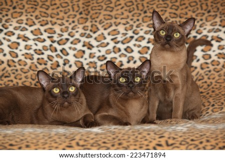Beautiful brown Burmese cats in front of blanket - stock photo