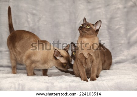 Beautiful brown Burmese cats in front of silver blanket