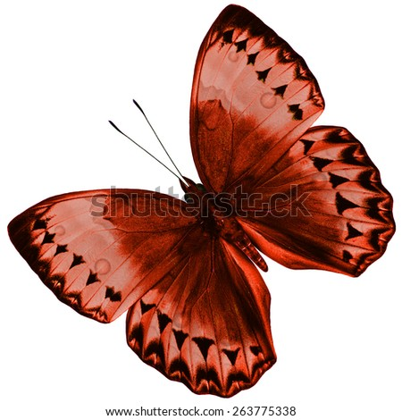 Beautiful Brown Butterfly (Cambodia Junglequeen in fancy color) isolated on white background with nice color profile and details - stock photo