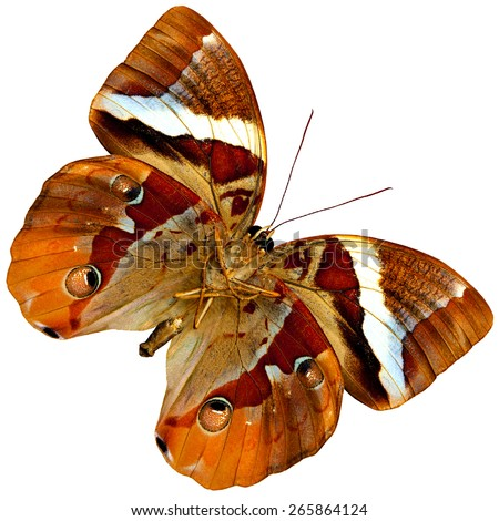 Beautiful Brown Butterfly,the exotic butterfly in fancy color profile isolated on white background - stock photo
