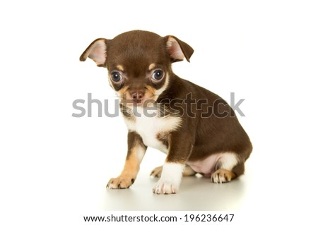 Beautiful brown chihuahua puppy sitting