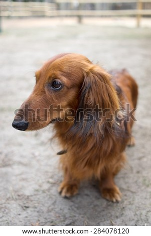 Beautiful brown dog breed dachshund standing on a sidewalk with it's head down - stock photo