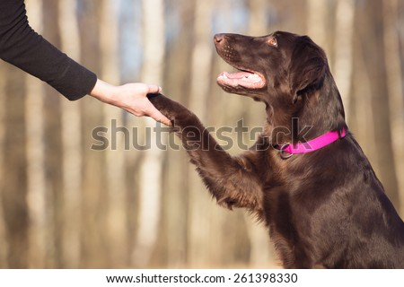 beautiful brown dog gives paw - stock photo