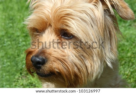 beautiful brown dog on green grass
